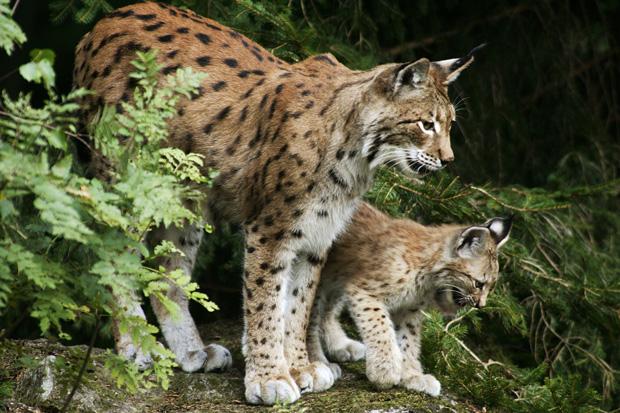Lynx to return to the UK - Country Living Magazine UK