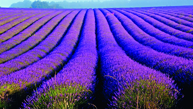 http://countryliving.wp.cdnds.net/tmp/wpro1406549134274078/Cotswold-lavender.jpg